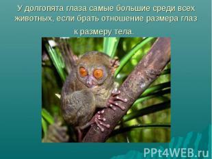 У долгопята глаза самые большие среди всех животных, если брать отношение размер
