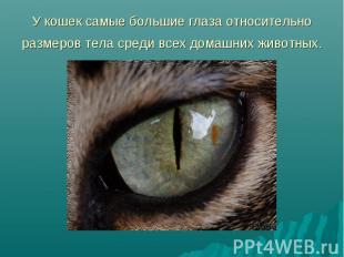 У кошек самые большие глаза относительно размеров тела среди всех домашних живот