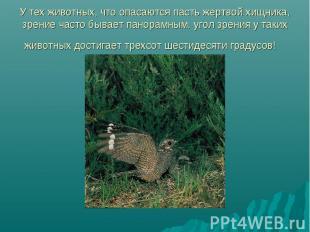 У тех животных, что опасаются пасть жертвой хищника, зрение часто бывает панорам
