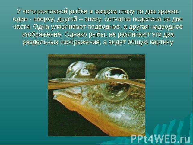 У четырехглазой рыбки в каждом глазу по два зрачка: один - вверху, другой – внизу. сетчатка поделена на две части. Одна улавливает подводное, а другая надводное изображение. Однако рыбы, не различают эти два раздельных изображения, а видят общую картину