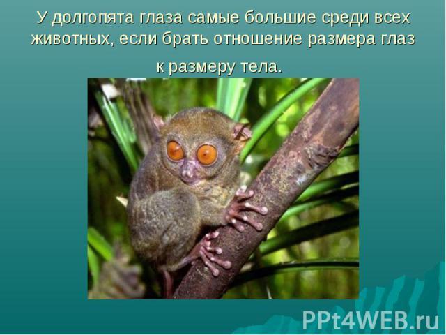 У долгопята глаза самые большие среди всех животных, если брать отношение размера глаз к размеру тела.