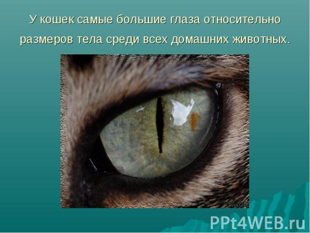 У кошек самые большие глаза относительно размеров тела среди всех домашних животных.