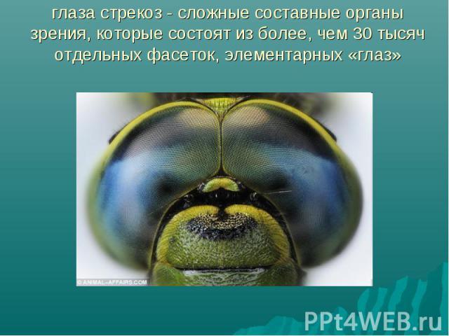 глаза стрекоз - сложные составные органы зрения, которые состоят из более, чем 30 тысяч отдельных фасеток, элементарных «глаз»