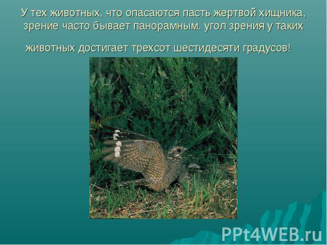 У тех животных, что опасаются пасть жертвой хищника, зрение часто бывает панорамным. угол зрения у таких животных достигает трехсот шестидесяти градусов!