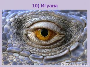 10) Игуана