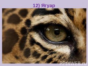 12) Ягуар