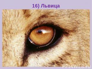 16) Львица