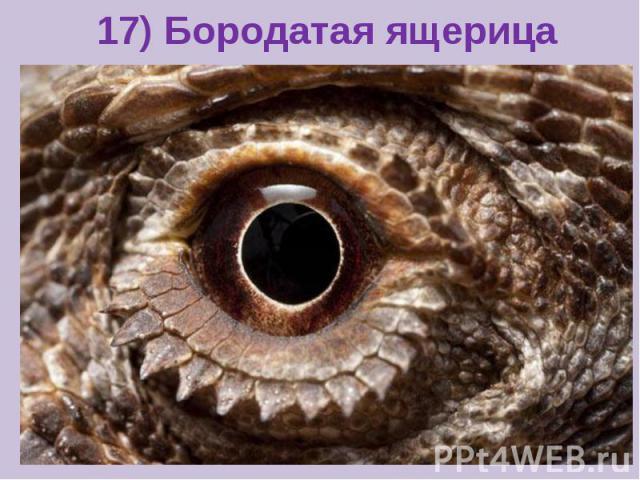 17) Бородатая ящерица