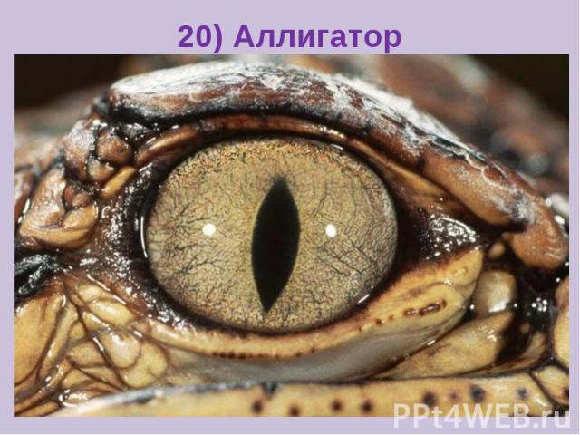 20) Аллигатор