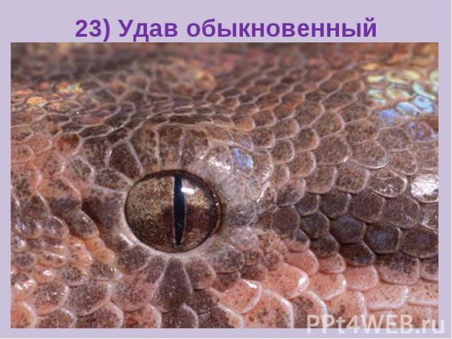 23) Удав обыкновенный