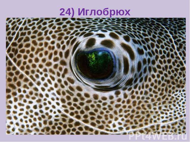 24) Иглобрюх