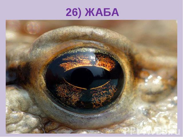 26) ЖАБА