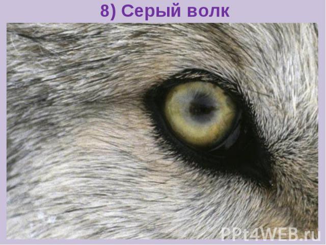 8) Серый волк