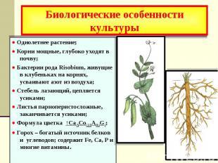 Биологические особенности культуры ● Однолетнее растение; ● Корни мощные, глубок
