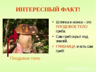 ИНТЕРЕСНЫЙ ФАКТ! Шляпка и ножка – это ПЛОДОВОЕ ТЕЛО гриба. Сам гриб скрыт под зе