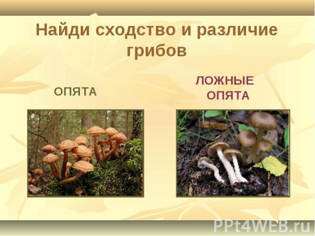 Найди сходство и различие грибов ОПЯТА ЛОЖНЫЕ ОПЯТА