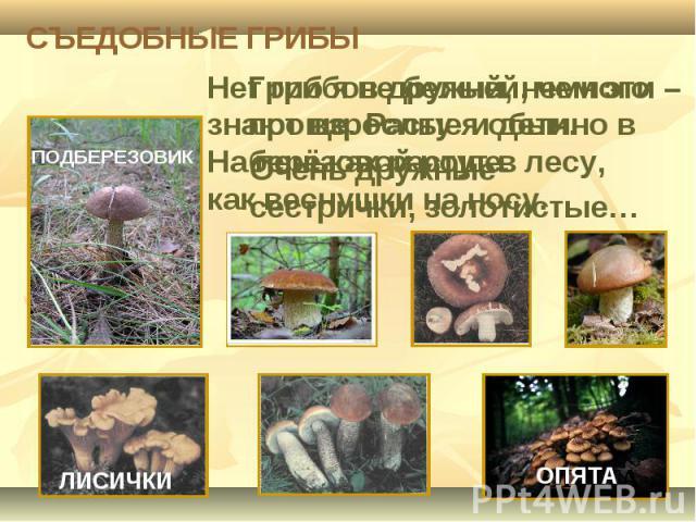 СЪЕДОБНЫЕ ГРИБЫ Нет грибов дружней, чем эти – знают взрослые и дети. На пеньках растут в лесу, как веснушки на носу.