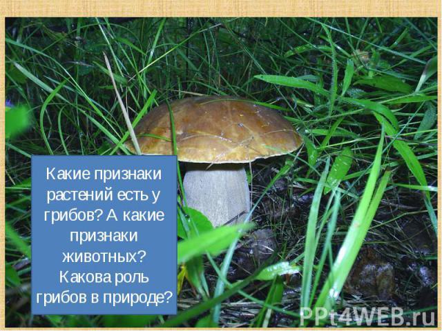 Какие признаки растений есть у грибов? А какие признаки животных? Какова роль грибов в природе?