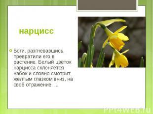 нарцисс Боги, разгневавшись, превратили его в растение. Белый цветок нарцисса ск