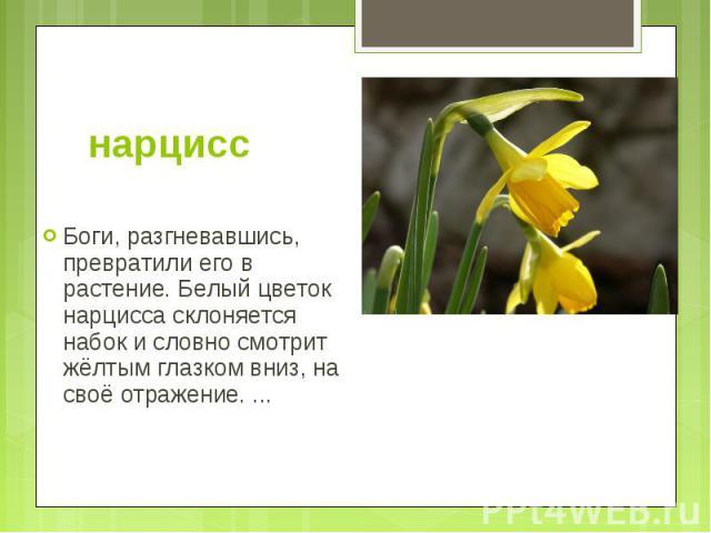 нарцисс Боги, разгневавшись, превратили его в растение. Белый цветок нарцисса склоняется набок и словно смотрит жёлтым глазком вниз, на своё отражение. ...