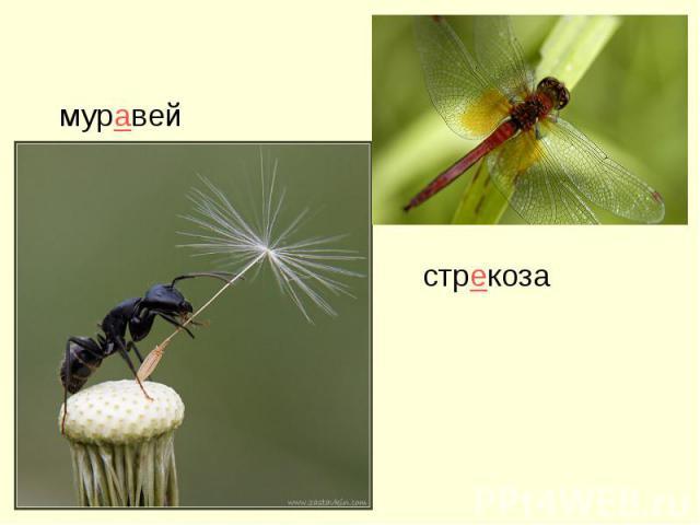 муравей стрекоза