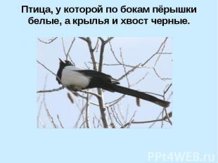 Птица, у которой по бокам пёрышки белые, а крылья и хвост черные.