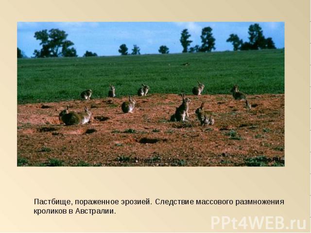Пастбище, пораженное эрозией. Следствие массового размножения кроликов в Австралии.