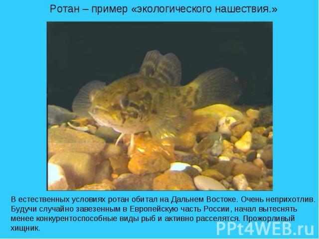 Ротан – пример «экологического нашествия.» В естественных условиях ротан обитал на Дальнем Востоке. Очень неприхотлив. Будучи случайно завезенным в Европейскую часть России, начал вытеснять менее конкурентоспособные виды рыб и активно расселятся. Пр…