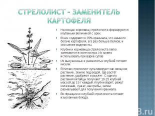 Стрелолист – заменитель картофеля На концах корневищ стрелолиста формируются клу