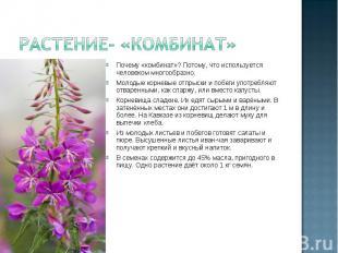 Растение- «комбинат» Почему «комбинат»? Потому, что используется человеком много