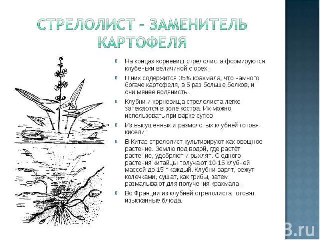 Стрелолист – заменитель картофеля На концах корневищ стрелолиста формируются клубеньки величиной с орех. В них содержится 35% крахмала, что намного богаче картофеля, в 5 раз больше белков, и они менее водянисты. Клубни и корневища стрелолиста легко …