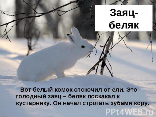Заяц-беляк Вот белый комок отскочил от ели. Это голодный заяц – беляк поскакал к кустарнику. Он начал строгать зубами кору.