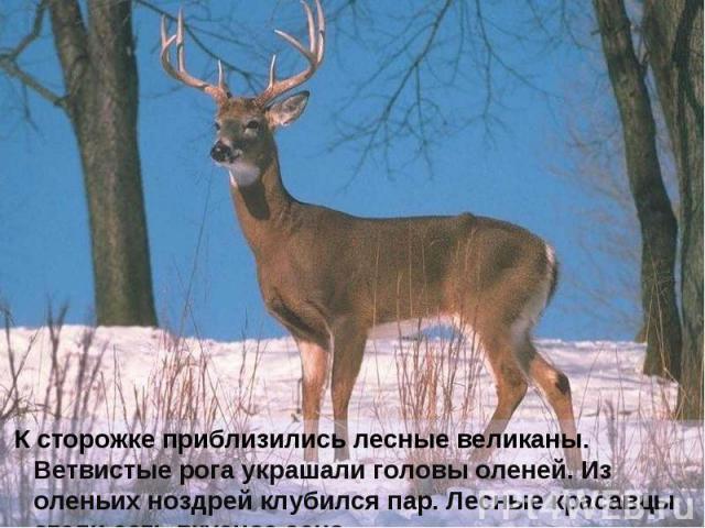 К сторожке приблизились лесные великаны. Ветвистые рога украшали головы оленей. Из оленьих ноздрей клубился пар. Лесные красавцы стали есть вкусное сено.