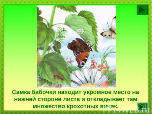 Самка бабочки находит укромное место на нижней стороне листа и откладывает там м