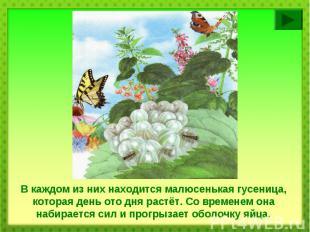 В каждом из них находится малюсенькая гусеница, которая день ото дня растёт. Со