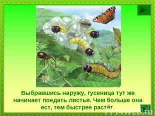 Выбравшись наружу, гусеница тут же начинает поедать листья. Чем больше она ест,