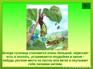 Вскоре гусеница становится очень большой, перестаёт есть и ползать, устраивается
