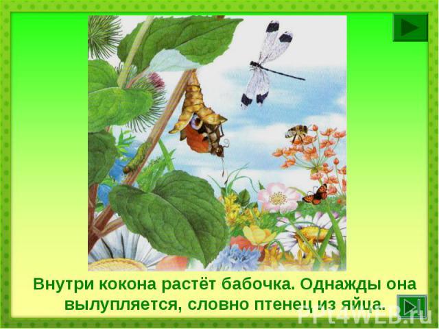 Внутри кокона растёт бабочка. Однажды она вылупляется, словно птенец из яйца.