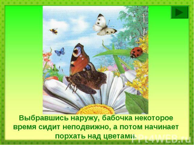 Выбравшись наружу, бабочка некоторое время сидит неподвижно, а потом начинает порхать над цветами.