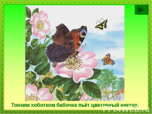 Тонким хоботком бабочка пьёт цветочный нектар.