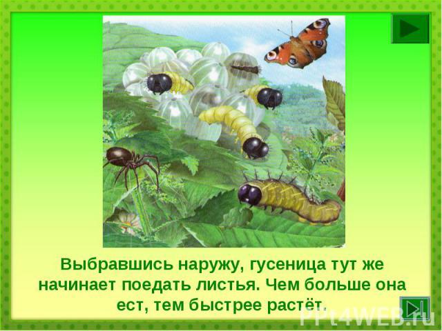 Выбравшись наружу, гусеница тут же начинает поедать листья. Чем больше она ест, тем быстрее растёт.