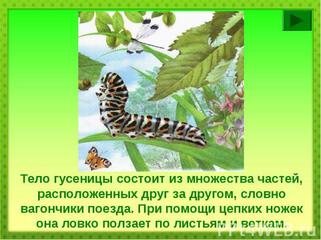 Тело гусеницы состоит из множества частей, расположенных друг за другом, словно вагончики поезда. При помощи цепких ножек она ловко ползает по листьям и веткам.