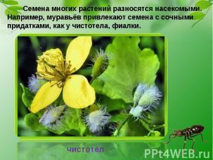 Семена многих растений разносятся насекомыми. Например, муравьёв привлекают семе