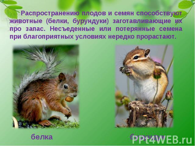 Распространению плодов и семян способствуют животные (белки, бурундуки) заготавливающие их про запас. Несъеденные или потерянные семена при благоприятных условиях нередко прорастают. белка бурундук