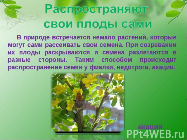 Распространяют свои плоды сами В природе встречается немало растений, которые могут сами рассеивать свои семена. При созревании их плоды раскрываются и семена разлетаются в разные стороны. Таким способом происходит распространение семян у фиалки, не…