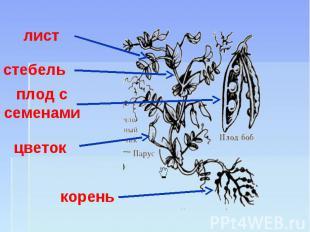 лист стебель плод с семенами цветок корень