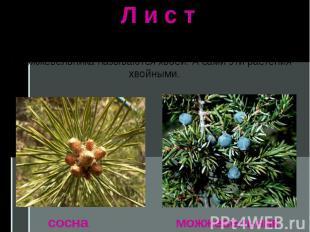 Л и с т Разнообразны и листья растений. Листья сосны и можжевельника называются