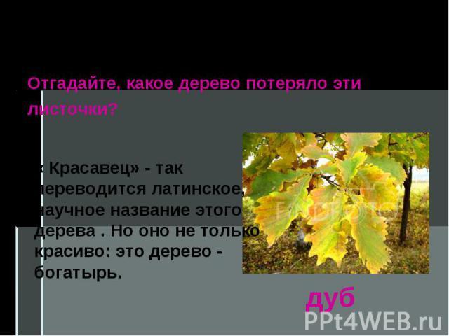Берёза, рябина, осина, тополь и орешник– лиственные растения. Отгадайте, какое дерево потеряло эти листочки? « Красавец» - так переводится латинское, научное название этого дерева . Но оно не только красиво: это дерево - богатырь.