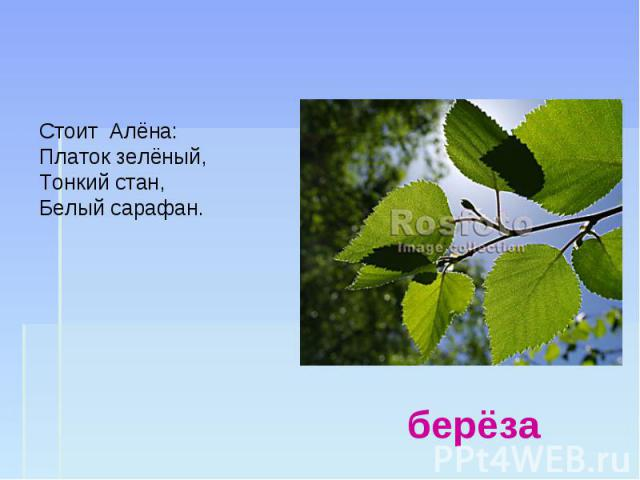 Стоит Алёна: Платок зелёный, Тонкий стан, Белый сарафан. берёза