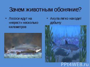Зачем животным обоняние?Лососи идут на «нерест» несколько километров Акула легко